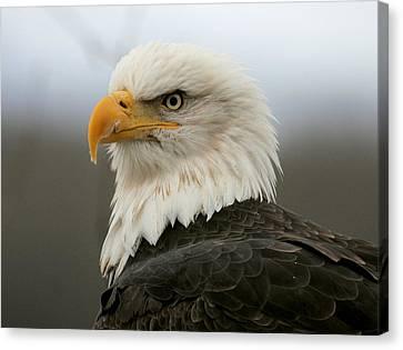 American Bald Eagle Portrait Canvas Print by Myrna Bradshaw