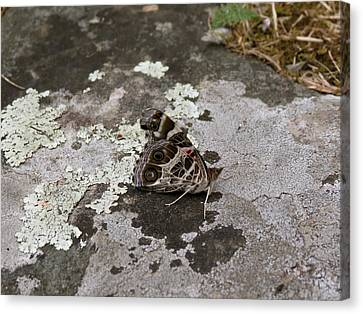 American Beauty Butterfly On Rock Canvas Print