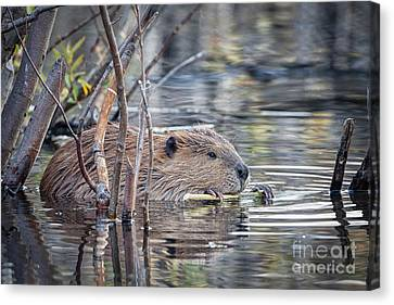 American Beaver Canvas Print by Ronald Lutz