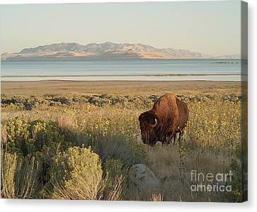 Canvas Print featuring the photograph American Bison Antelope Island Utah by Doug Herr