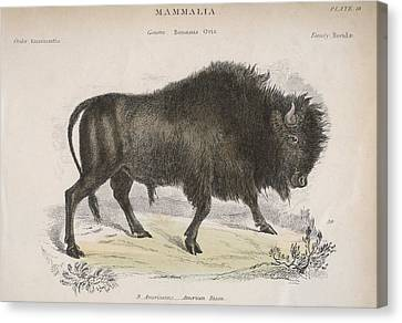 American Bison Canvas Print by Hulton Archive