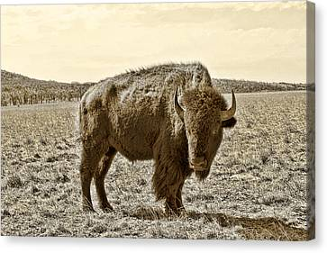 American Bison In Gold Sepia - Left View Canvas Print by Tony Grider