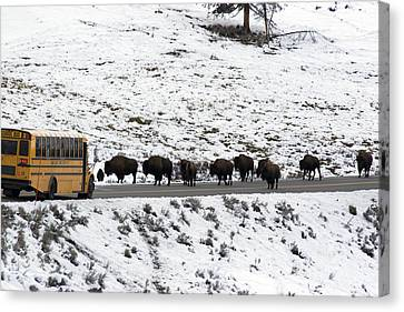 American Bison In The Road Halt Traffic Canvas Print by William Allen