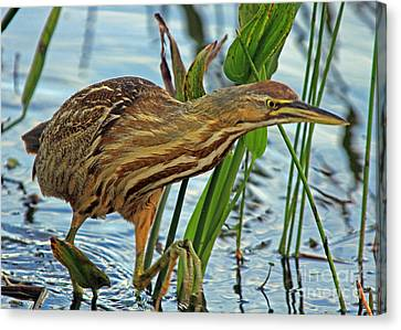 Canvas Print featuring the photograph American Bittern by Larry Nieland