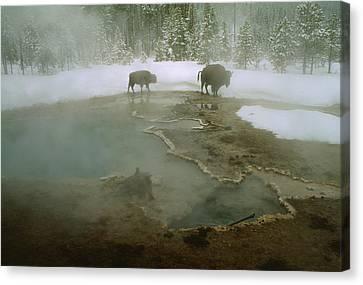 American Buffalo Bison Bison Mill Canvas Print by O. Louis Mazzatenta