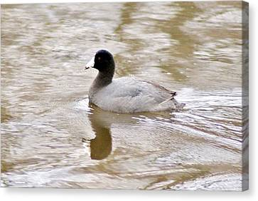American Coot 1 Canvas Print by Joe Faherty