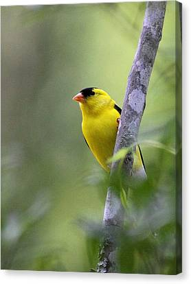 American Goldfinch - Peaceful Canvas Print