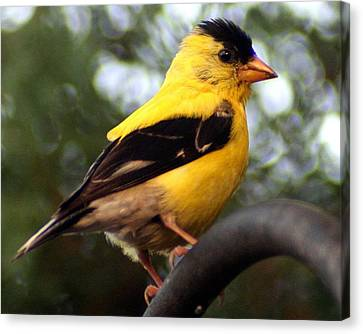 Canvas Print featuring the photograph American Goldfinch by Laurel Talabere