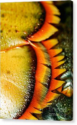 Chatham Canvas Print - American Lobster Closeup In Chatham On Cape Cod by Matt Suess