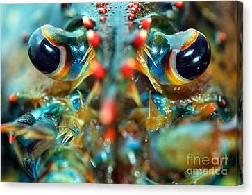 American Lobsters Canvas Print by Matt Suess
