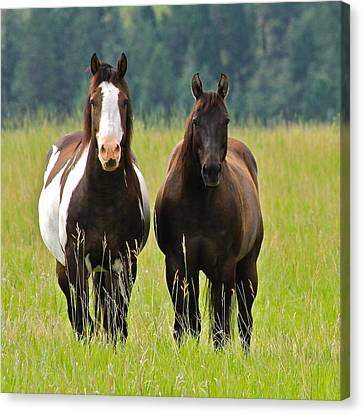 American Paint Stallion And Mare Canvas Print by Karon Melillo DeVega