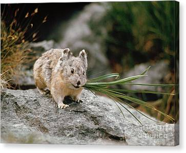 Canvas Print featuring the photograph American Pika by Doug Herr