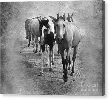 American Quarter Horse Herd In Black And White Canvas Print by Betty LaRue