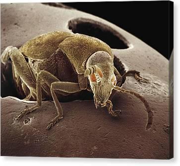 American Seed Beetle Sem Canvas Print by Albert Lleal