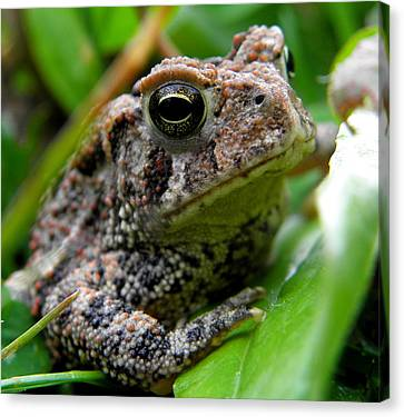 American Toad Canvas Print by Griffin Harris