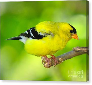 Canvas Print featuring the photograph American Yellow Finch by Jack Moskovita