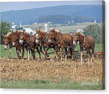 Amish Working Team  Canvas Print by Louise Peardon