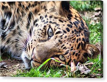 Canvas Print featuring the photograph Amur Leopard by Lynne Jenkins