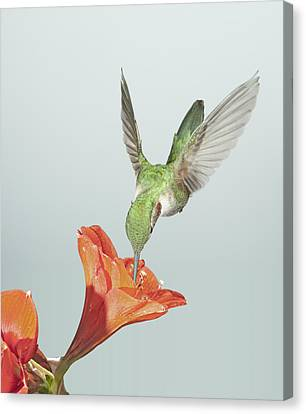 Amyrillis And Broadtailed Hummingbird Canvas Print by Gregory Scott