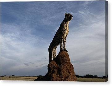 An African Cheetah Guards Its Territory Canvas Print by Chris Johns