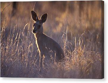 Kangaroo Canvas Print - An Alert Eastern Grey Kangaroo Feeding by Jason Edwards