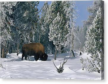 An American Bison Bison Bison Forages Canvas Print by Norbert Rosing