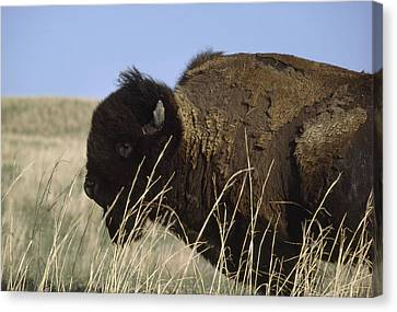 An American Bison Bison Bison Still Canvas Print by James P. Blair