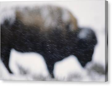 An American Bison Braves A Blizzard Canvas Print by Annie Griffiths