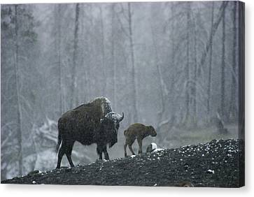 An American Bison Cow With Her Newborn Canvas Print by Michael S. Quinton
