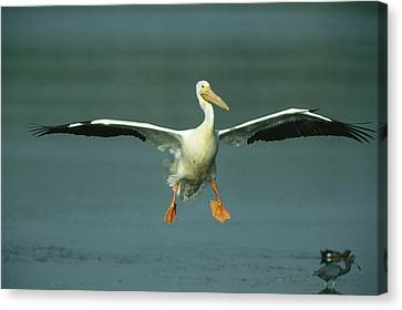 An American White Pelican In Flight Canvas Print by Klaus Nigge
