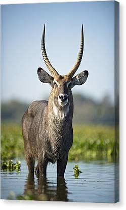 An Antelope Standing In Shallow Water Canvas Print by David DuChemin