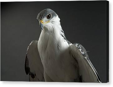 An Auger Buzard Buteo Auger At Denver Canvas Print by Joel Sartore