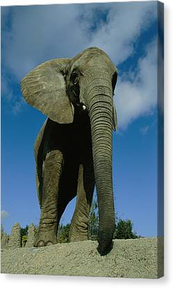 An Elephant At The Pittsburgh Zoo. This Canvas Print by Michael Nichols