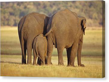 An Endangered Asian Elephant Calf Canvas Print by Jason Edwards