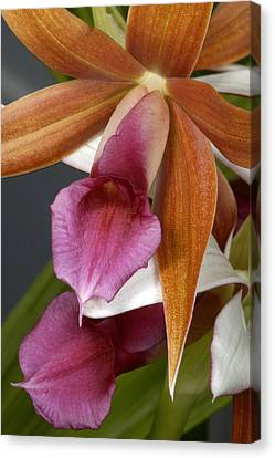 An Orchid, Probably A Cattleya Hybrid Canvas Print by Stephen Sharnoff
