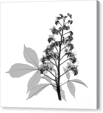 An X-ray Of A Chestnut Tree Flower Canvas Print by Ted Kinsman