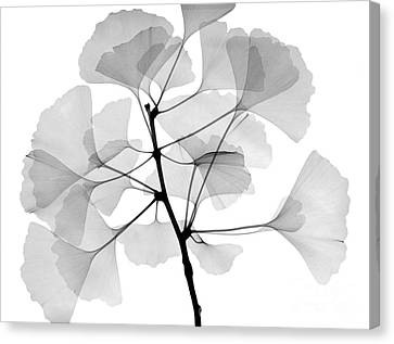 An X-ray Of Ginko Leaves Canvas Print by Ted Kinsman