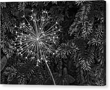 Anatomy Of A Flower Monochrome 2 Canvas Print by Steve Harrington