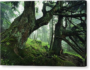Ancient Fir Trees In Forest Canvas Print by Norbert Rosing