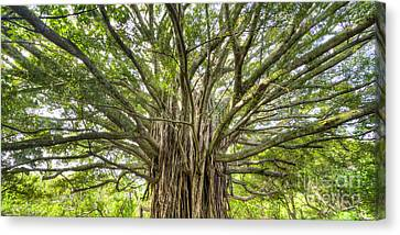 Ancient Maui Banyan Tree 2 Canvas Print