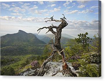 Ancient Pine On Hawksbill Mountain Canvas Print by Keith Clontz