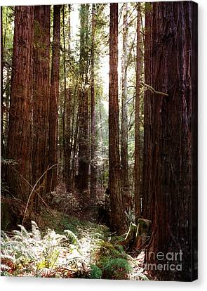 Ancient Redwoods And Ferns Canvas Print by Laura Iverson