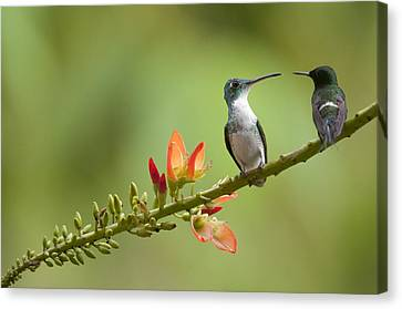 Green Thorntail Canvas Print - Andean Emerald Amazilia Franciae by Murray Cooper