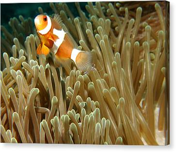 Anemone & Clown Canvas Print by Photographed by Randi Ang
