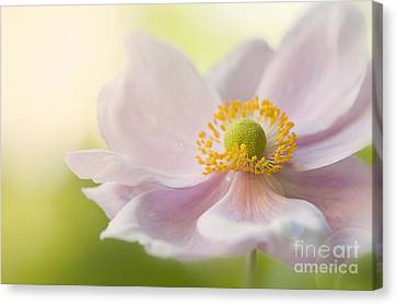 Anemone Haze Canvas Print by Jacky Parker