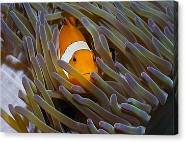 Anemonefish In Anemone Canvas Print by Georgette Douwma