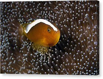 Anemonefish In Sea Anemone Canvas Print by Matthew Oldfield