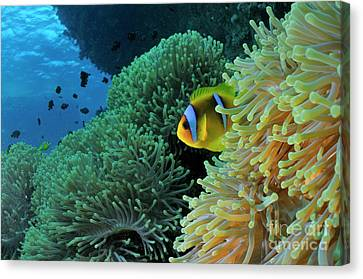Anemonefish In Sea Anemone Canvas Print by Sami Sarkis