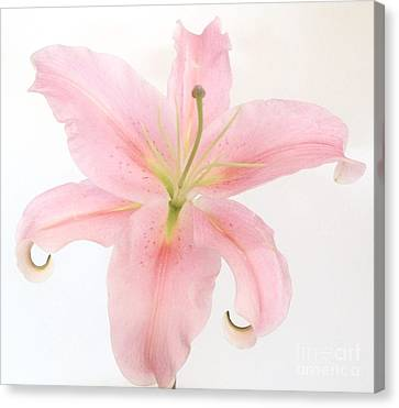 Angel Lily Canvas Print by Marsha Heiken