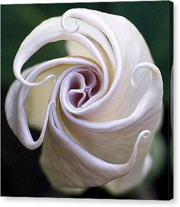Angel Trumpet Blooms Canvas Print